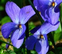 violet-292367_1920